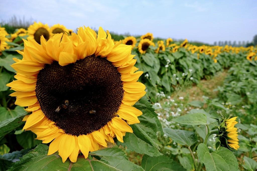 Love the sunflowers by photopedlar