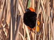 12th Aug 2020 - Red Bishop in all his beauty