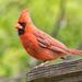 First Cardinal