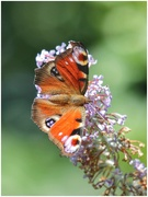 12th Aug 2020 - Just a butterfly!