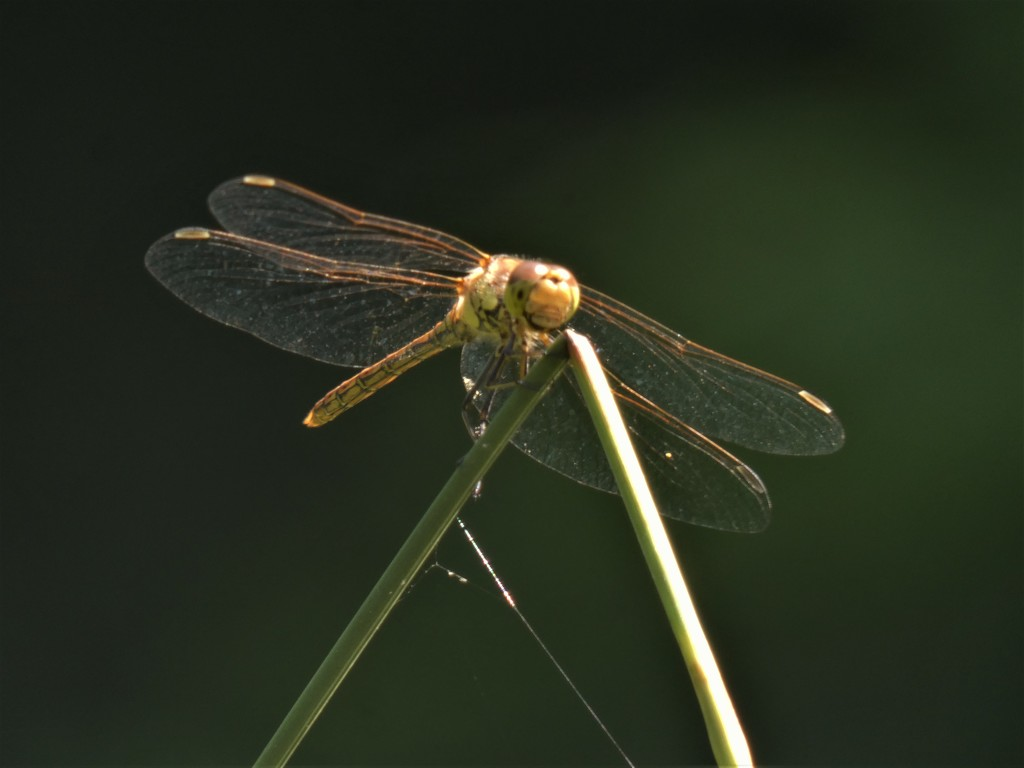 Common Darter by julienne1