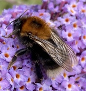 12th Aug 2020 - Another bee - soz