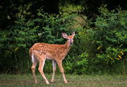12th Aug 2020 - A young doe