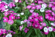 12th Aug 2020 - Dianthus barbatus (Duizendschoon)