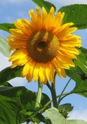 12th Aug 2020 - Sunflower