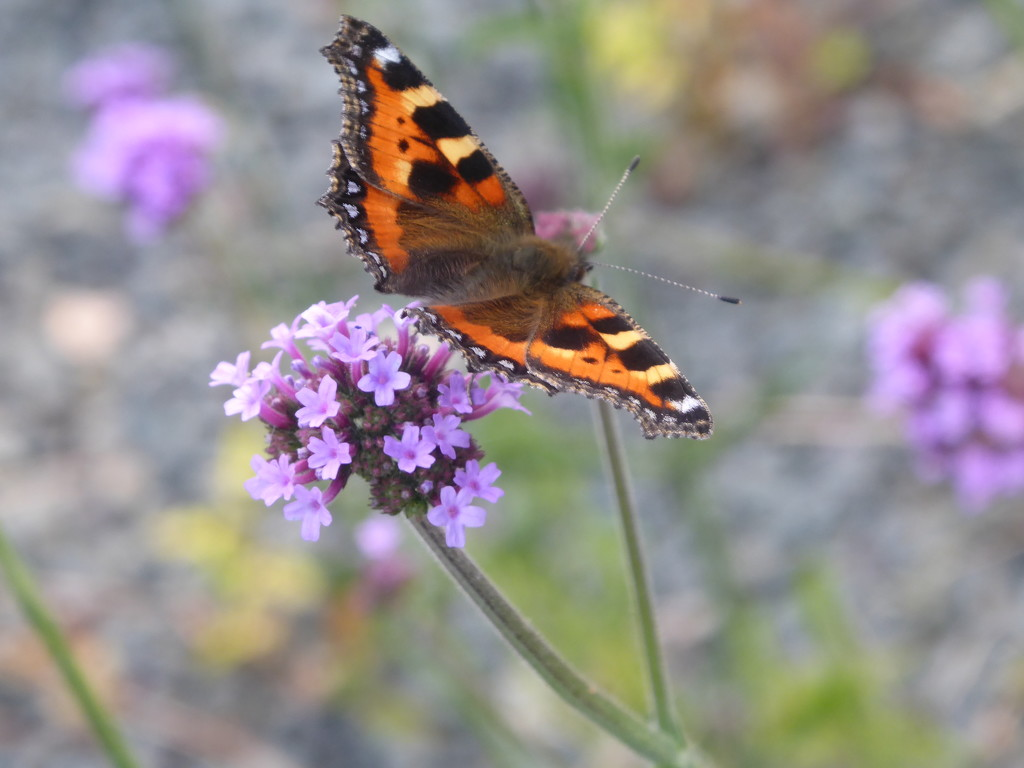 Small Tortoiseshell butterfly on Verbena by snowy