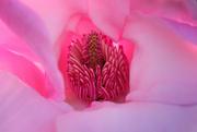 13th Aug 2020 - Pink magnolia