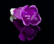13th Aug 2020 - A Fallen Foxglove Flower DSC_2900