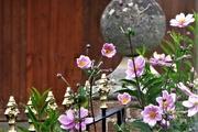 13th Aug 2020 - Pink Japanese Anemones