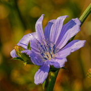 13th Aug 2020 - chicory