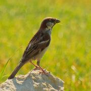 13th Aug 2020 - house sparrow