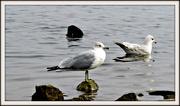 2nd Aug 2020 - Seagulls  Rock
