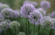 13th Aug 2020 - Alliums