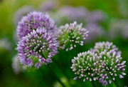 13th Aug 2020 - Little Alliums