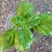 """""""Ocimum basilicum"""""""