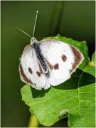 11th Aug 2020 - I believe this is a large white butterfly - yes, that's what it is called! Easy to remember 😁