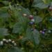 Porcelain-berries