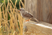 12th Aug 2020 - White Crowned Sparrow