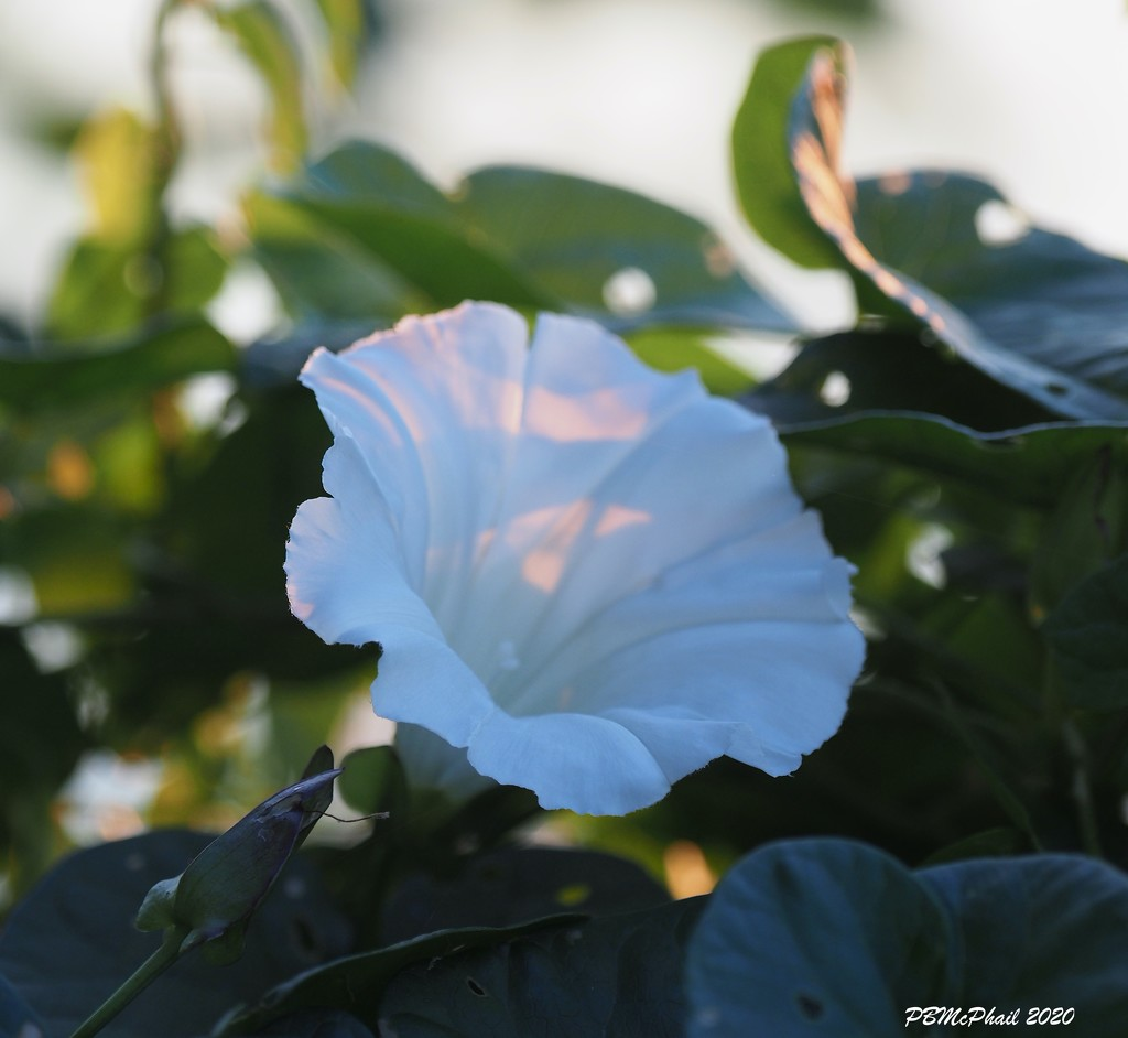 Morning Glory by selkie