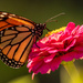 One More Monarch Butterfly!
