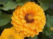 13th Aug 2020 - Full bloom