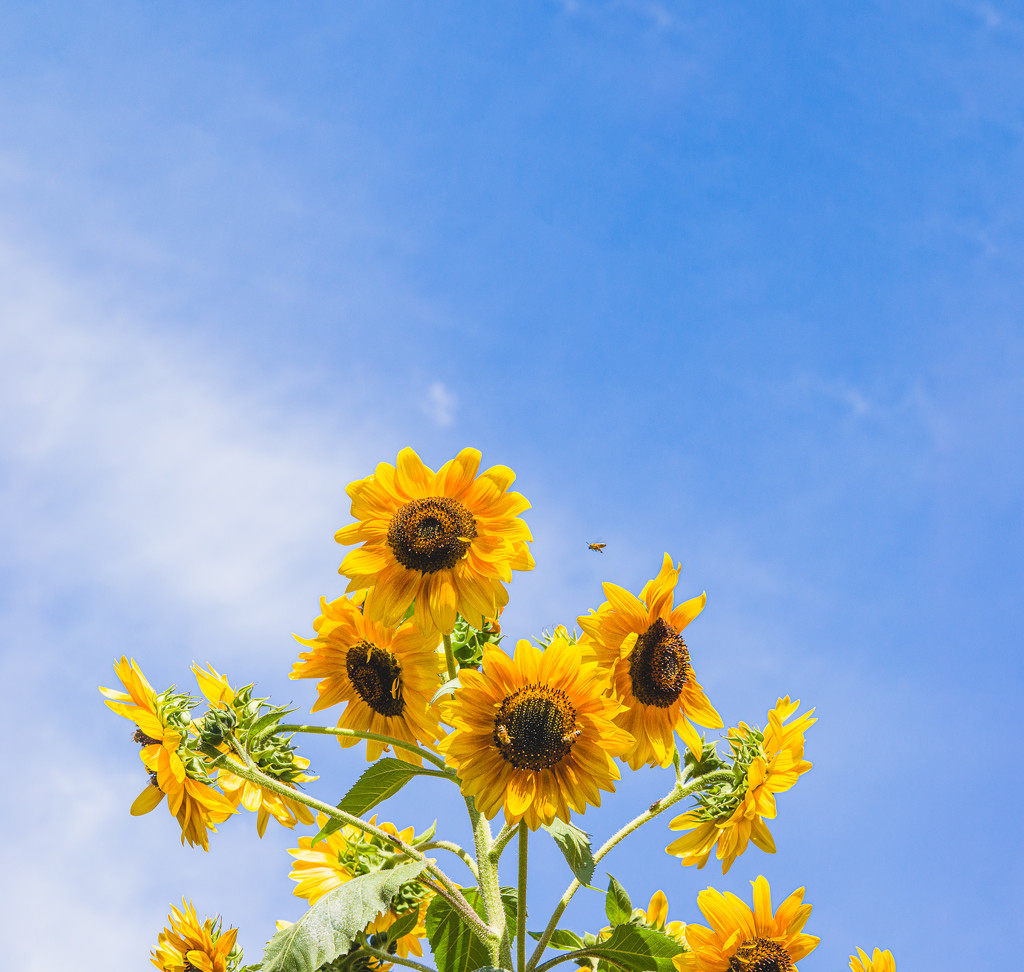 (Day 182) - Tall & Sunny by cjphoto