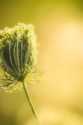 13th Aug 2020 - Queen Anne's Lace