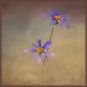 14th Aug 2020 - Little blue daisies