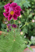 12th Aug 2020 - Cosmos
