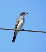 14th Aug 2020 - Eastern Kingbird