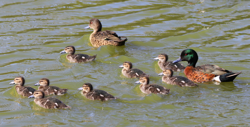 Little quacks by gilbertwood