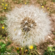 14th Aug 2020 - Dandelion Clock