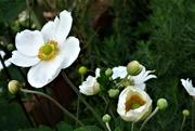 14th Aug 2020 - White Japanese Anemone