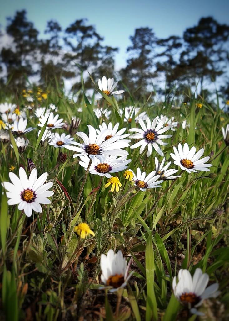 Daisy field by salza