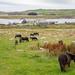 Grutness Ponies