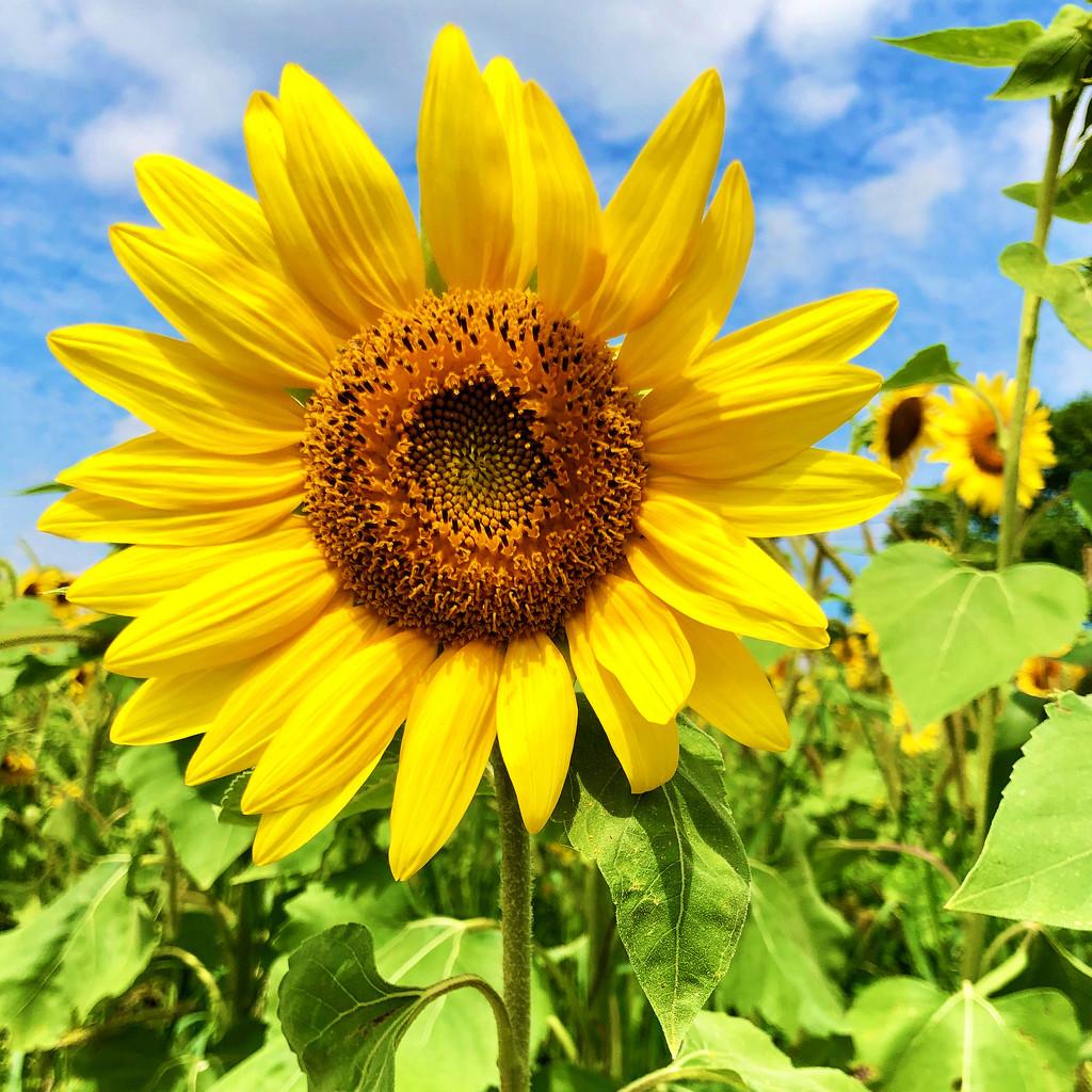 Sunflowers For My Birthday by yogiw