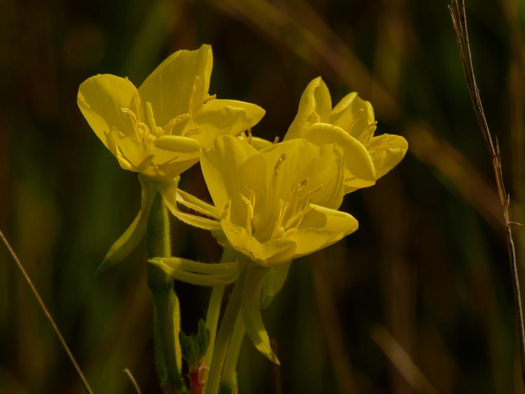 Evening-primrose by rminer