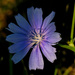 chicory and shadows