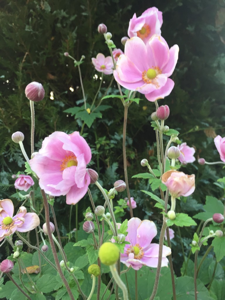Japanese anemone  by snowy