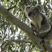 koalas are natural baritones