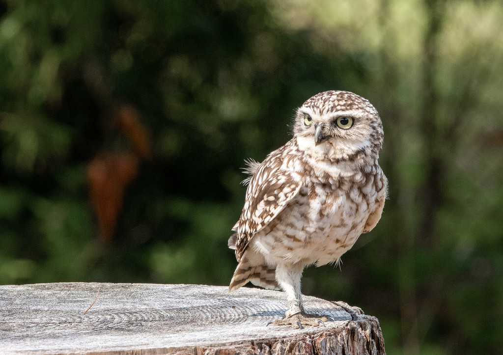 Burrowing Owl by ellida