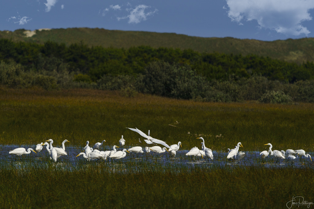 White Egrets Congregating On the Other Side Of the Dunes by jgpittenger