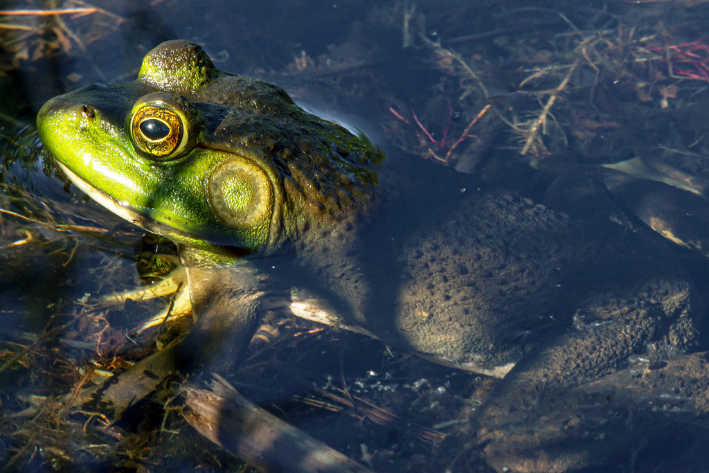 Froggy in the Water by farmreporter