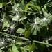 Dandelion seeds by orion5d