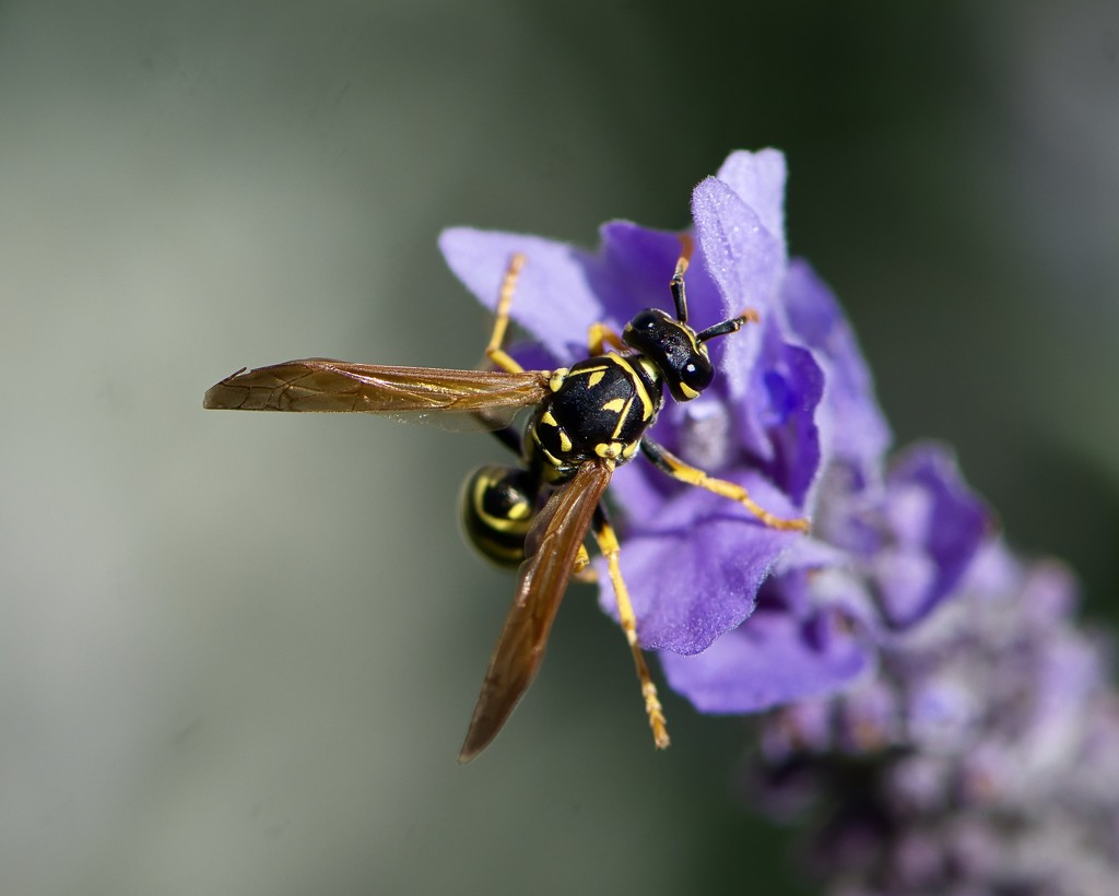 Just A Wasp  On My Lavender DSC_2941 by merrelyn