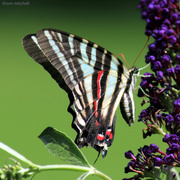18th Jul 2020 - Swallowtail sans tails
