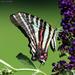 Swallowtail sans tails