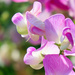 Shades of Pink Sweet Pea by seattlite