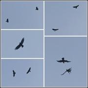 15th Aug 2020 - Battling Buzzards