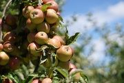 15th Aug 2020 - almost apple harvest